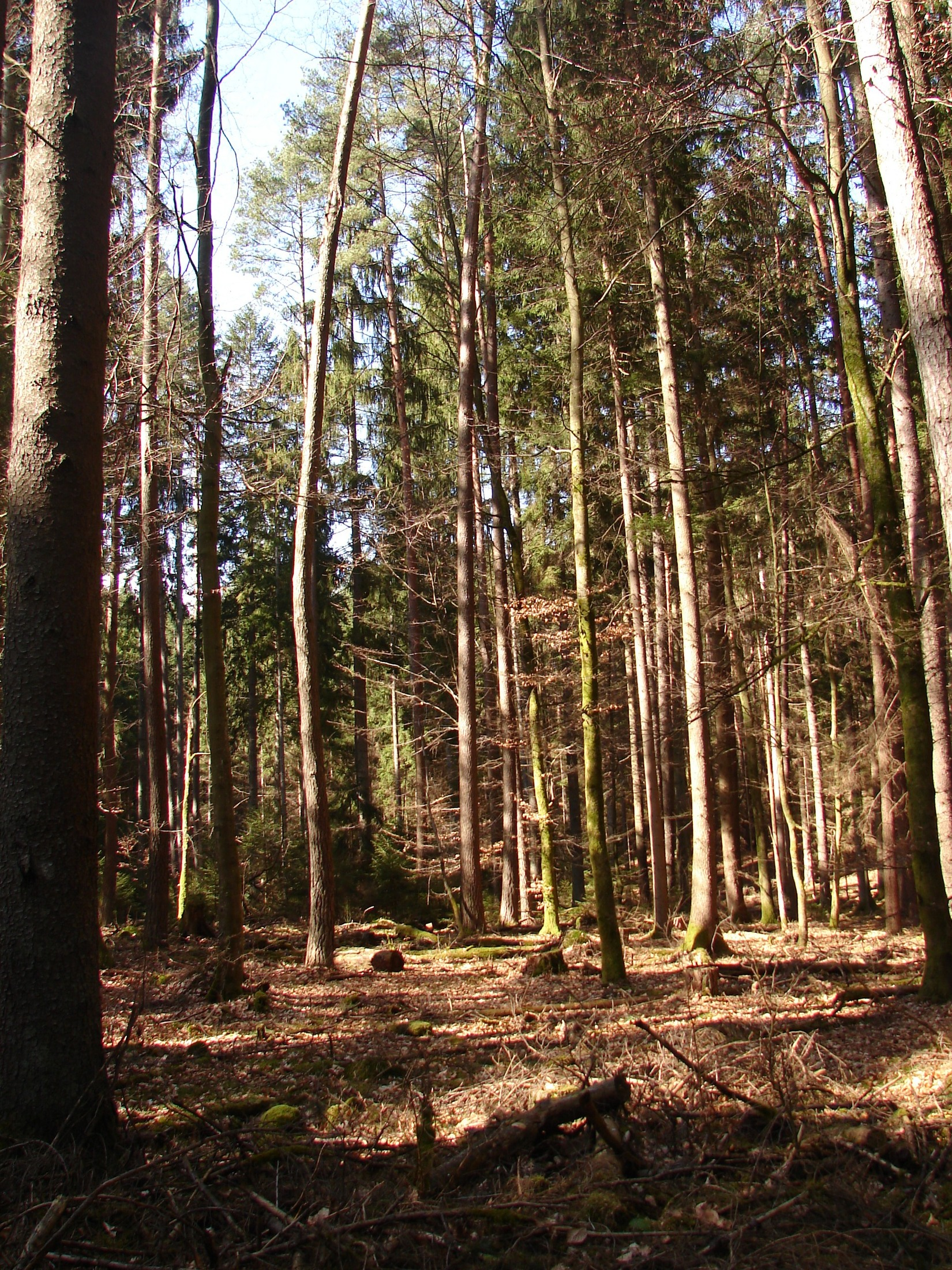 Spruce population in Moosbachtal